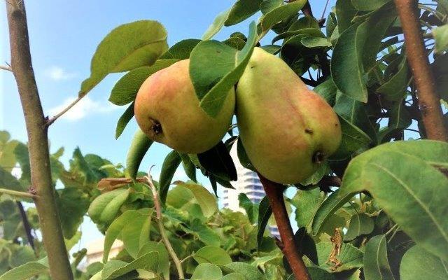 שתילת עץ פרי במיכל