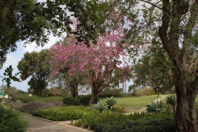 בוהניה מגוונת בפריחה צילום:שגיא שגיב.