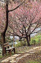 פריחתו של עץ הדובדבן היפני
