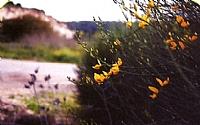גבעולי אחירותם החורש הינם רותמיים, העלים הקטנים נשירים