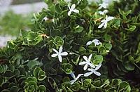 קריסה 'גרין קרפט'- עלי הצמח גלדניים, בנויים מאפידרמוס רב שכבתי ועטופים קוטיקולה
