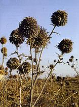 שדה קיפודנים, רמת הגולן, פורח באמצע הקיץ