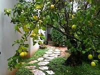 עץ הדרים בגינה