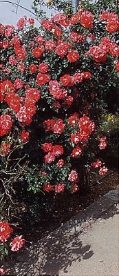 שיח ורדים