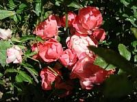 ורד תפרחות