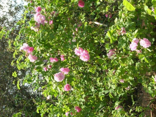 שיח ורדי דמשק