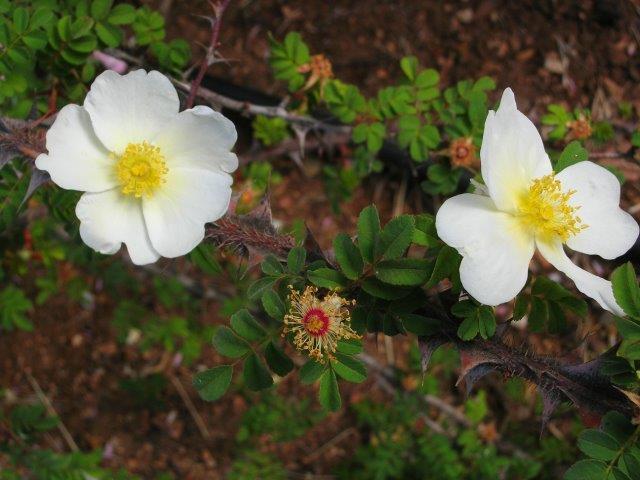 ורד המשי 'סריצאה'