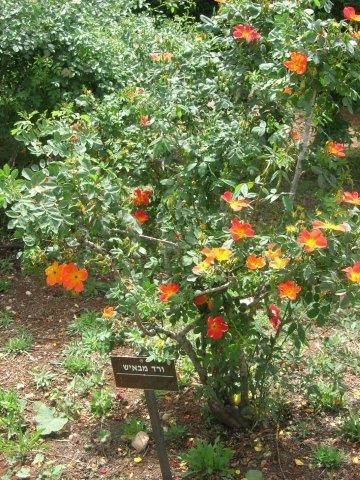 ורד מבאיש 'דו-גוני'
