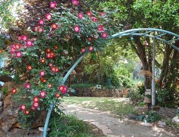 ורד קוקטייל מטפס של פרגולה ממתכת