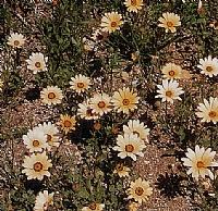 דו-זרעונית מפורצת. בדרום אפריקה היא פורחת באביב במשטחים עצומים