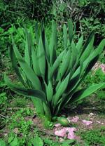 גושי צמחים צפופים