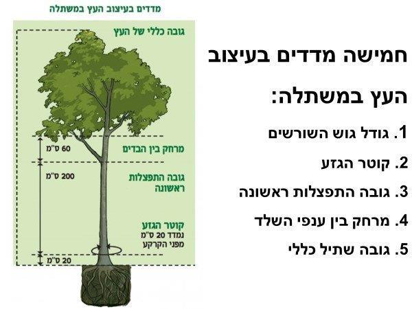 מדדים בעיצוב העץ במשתלה