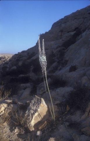 חצב מצוי בהר הנגב