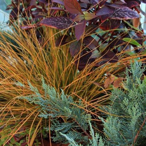 כריך קרומי 'פררי פייר' Carex testasea 'Prairie Fire' בחברת ערער 'בלו קלאוד' וביצן משונן 'רובי'