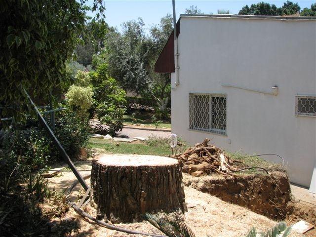 סופו של עץ בן 80