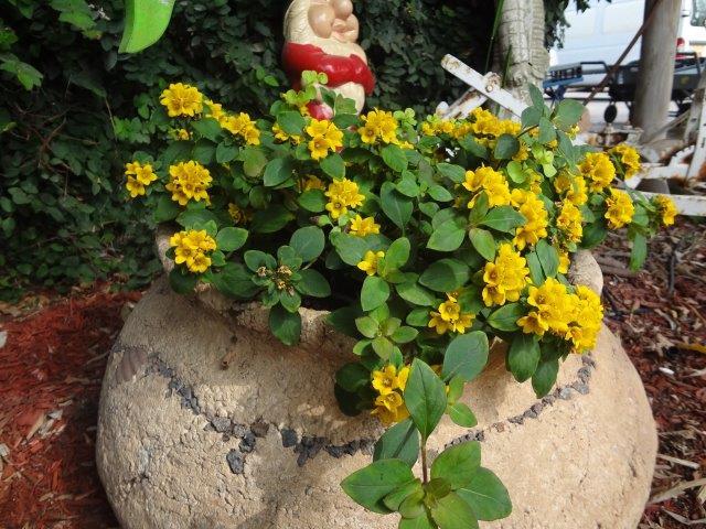 ליזימכיה צפופת-פרחים