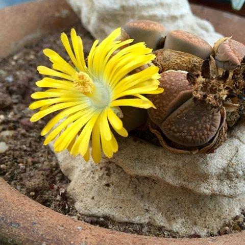 ליתופס אוקמפ בפריחה
