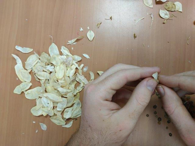 מוציאים זרעי כרמלית מהתרמילים