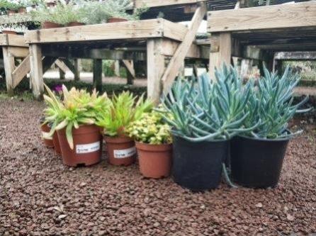 סוקולנטים צמחים עמידים וחסכנים במים