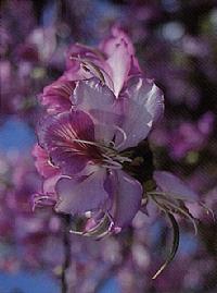 בפרח הבוהיניה המגוונת ניתן להבחין בעלי המעוקל, ובאבקנים ועלי הכותרת הוורודים שסביבו