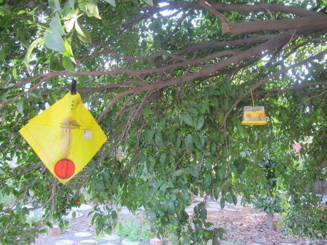 מלכודת דבק לעצי פרי