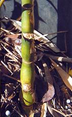 נצרי הבמבוק משמשים למאכל