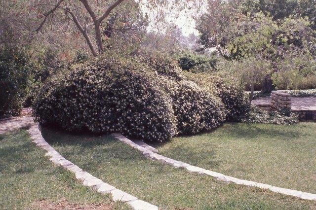 שיח ספיראה - לשיח יש מבנה רחב וקצת קשתי, וברור שהוא הכי יפה כשלא נוגעים בו בכלל והוא יישתל כבודד או במרווח של כ2 מטרים ל]חות. צילום: דוד ערן