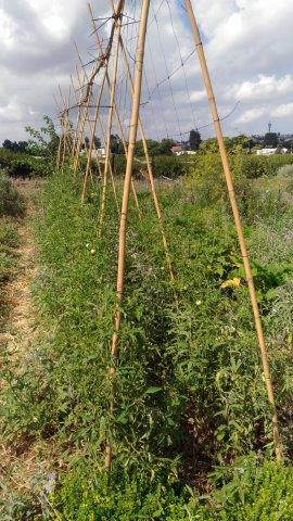 עגבניות מטפסות על הדליה