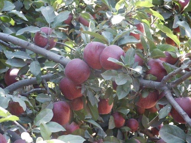תפוחי סטרקינג