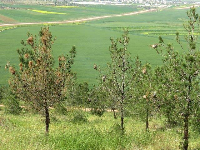 עצי אורן צעירים עם קיני תהלוכן צילום שחר סמרה