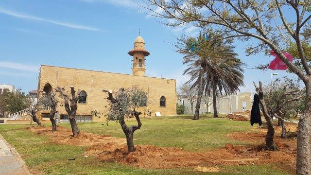 עצי זית במשכנם החדש בחורשת קדם יפו. צילום: זיו אזורה, מנהל תחום עצים ,עיריית תל אביב.