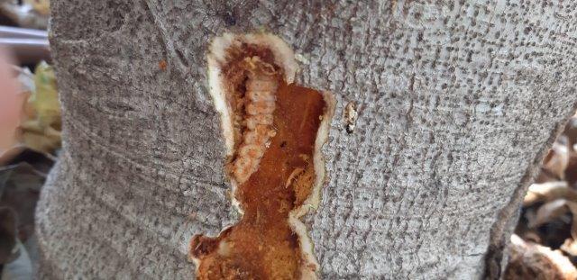פגיעה של זחל ירקונית התאנה