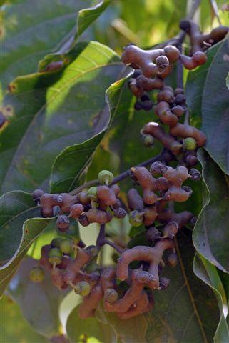 עץ הצימוקים היפאני