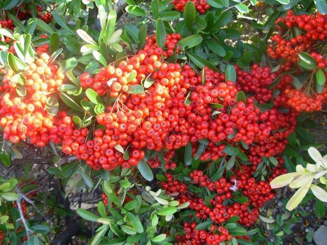 פרי - פירקנתה אדומה בסתיו