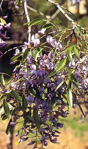 בולוסנתוס נאה,עץ אפריקני ממשפחת הפרפרניים, בעל פריחה מרשימה
