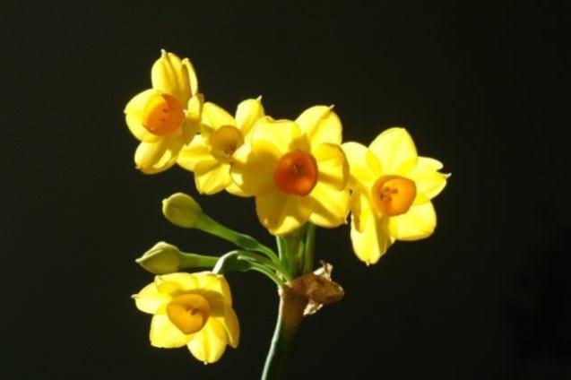 נרקיס מצוי תת מין צהוב צילום של אורי פרגמן