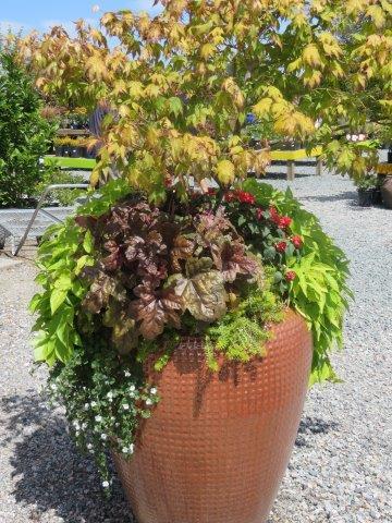 צמח משתפל המכסה מעט את העציץ