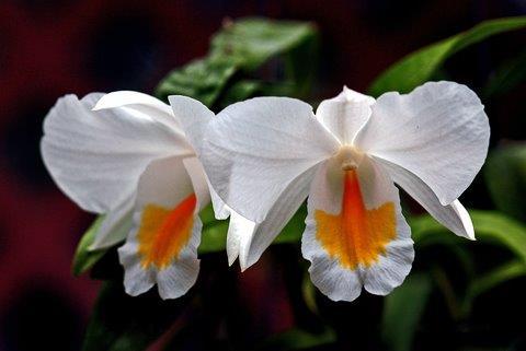 קטליה Cattleya