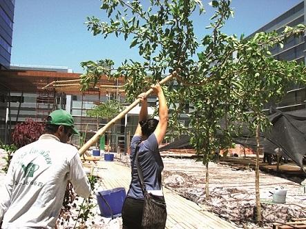 אדריכלית מאיה זהר, בעזרת גנן, מעבירה עץ תות בכות לשתילה בפרויקט בהרצליה פיתוח