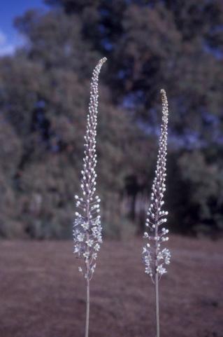 שני פרחי חצב