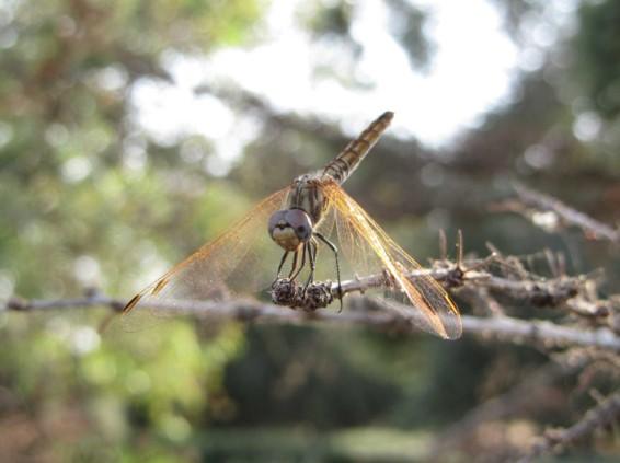 שפירית טורפת תוך כדי מעוף