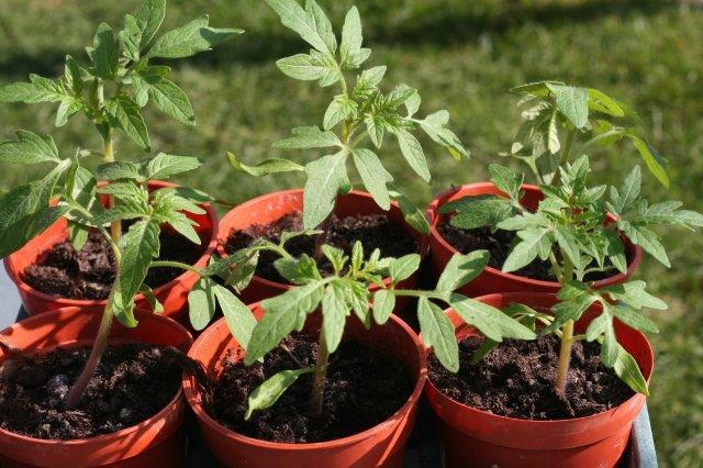 זרעי עגבנייה שנשתלו בעציצים