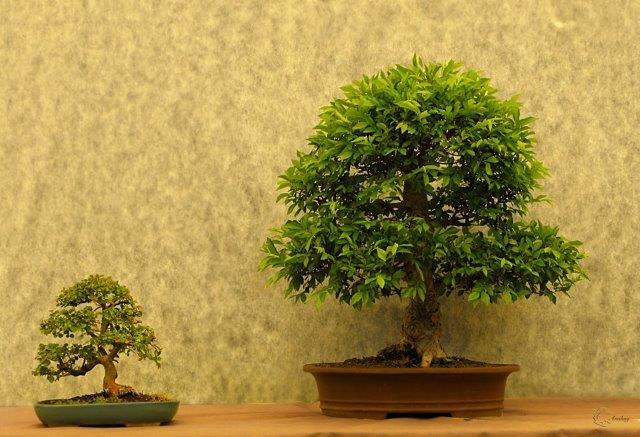 שני עצי בונסאי בגדלים שונים. מימין זלקובה משמאל אולמוס קטן עלים