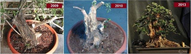 תהליך העיצוב של עץ זית שנאסף כחומר גלם (משמאל ) עד הפיכתו לבונסאי תוך מספר שנים (מימין)