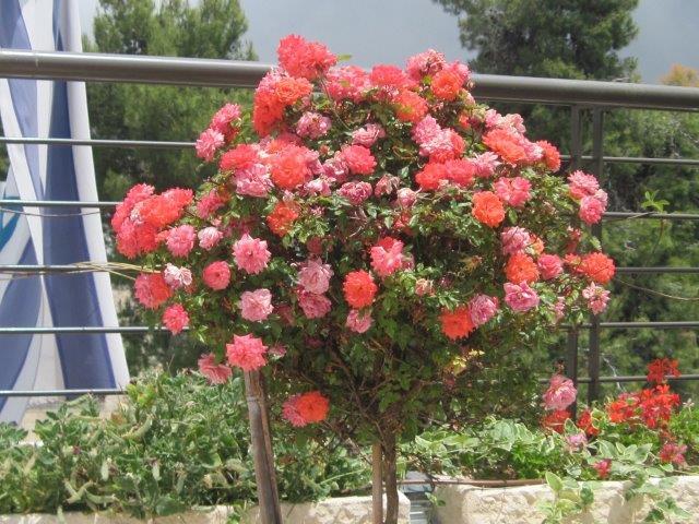 שיח ורדים פורח