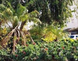 בכיכר התאנה אין תאנה והיא מאופינת בצמחיה טרופית ואוסטרלית