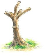 חיתוך של הענף והשארת זרועות