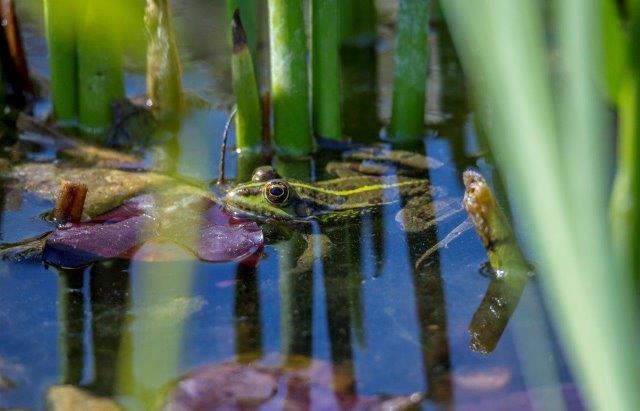 תרומתו הבריאה של הצפרדע ,איזון אקולוגי