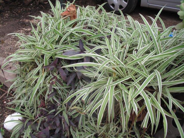 ירקה קיפחת 'מגוון' (Chlorophytum elatum 'ariegatum')