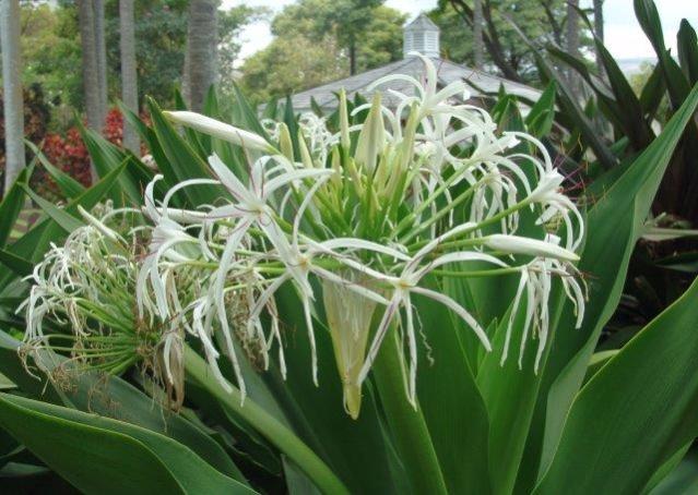 Crinum bulbispermum קרינון ארך עלים